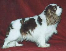 Cavalier King Charles Sp.