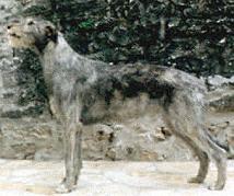 Ierse Wolfshonden